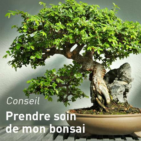 dompter-son-bonsai