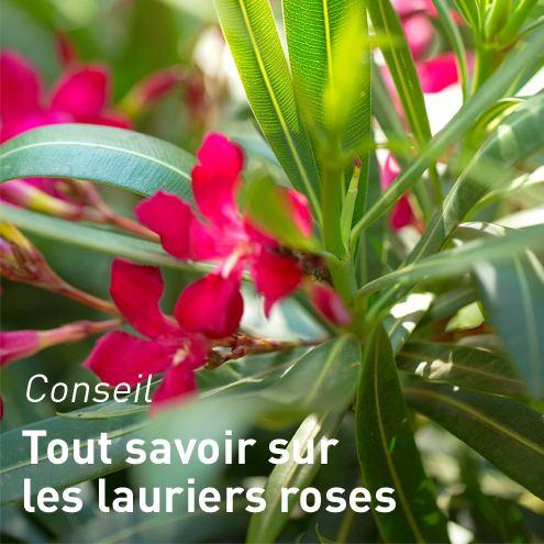 Laurier rose nerium oleander plante balcon et terrasse - Ou planter un laurier rose ...