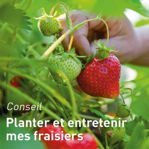 fraisiers plantes pour le potager et potager botanic. Black Bedroom Furniture Sets. Home Design Ideas