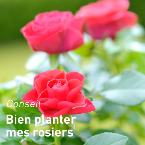 planter-ses-rosiers