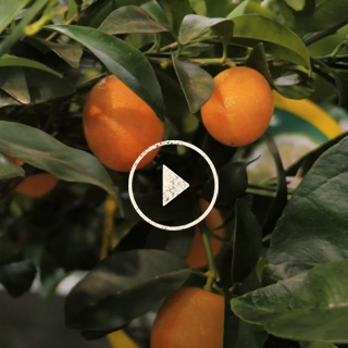 BlocConseil_capsule_secrets-de-producteur-agrumes