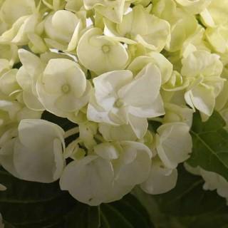 BlocConseil_du-japon-a-nos-jardins-l-hortensia-devoile-ses-secrets-de-beaute