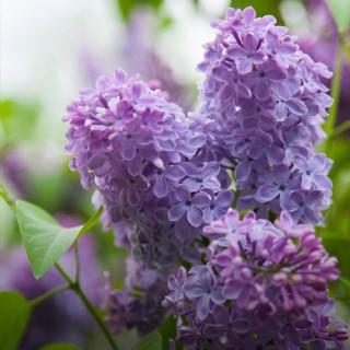 BlocConseil_le-lilas-roi-du-printemps