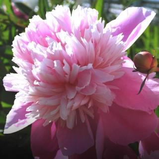 BlocConseil_les-pivoines-fleurs-du-dieu-du-pan