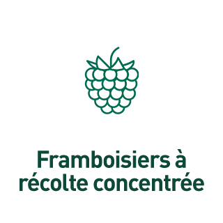 BlocConseil_aide-au-choix-framboisiers_framboisiers-a-recolte-concentree