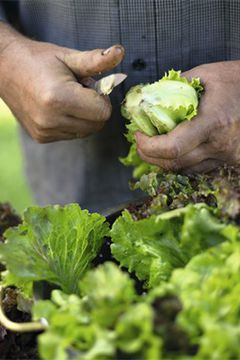Les belles salades du potager !