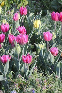 Les tulipes botanic® testées et approuvées !