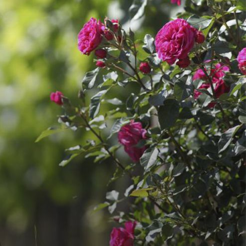 BlocConseil_planter-ses-rosiers