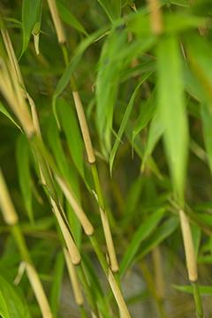 Limiter les pousses de bambous