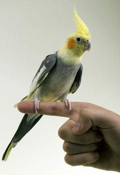 Accueillir un perroquet: les bons gestes pour l'aider à trouver ses marques