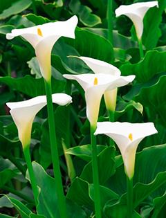 Arum : connaître et chouchouter cette splendide fleur à bulbe
