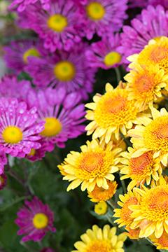 Bouturer les chrysanthèmes