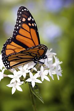 Inviter les papillons dans son jardin