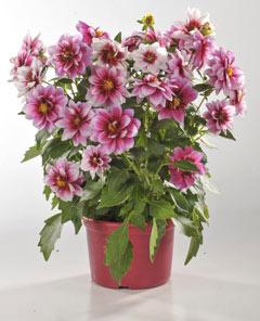 Préparer la floraison des dahlias