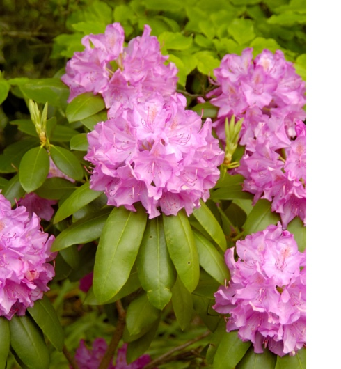 Où et comment planter votre azalée ou votre rhododendron ? 3 étapes à suivre