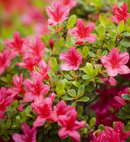 conseils-azalees-et-rhododendron-botanic_30