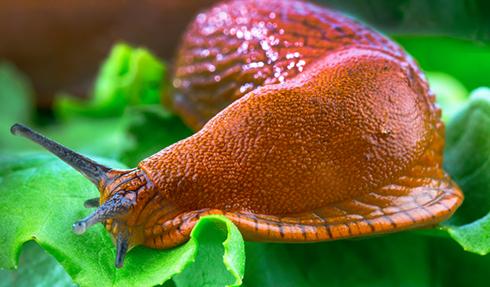 L'anti-limace biologique