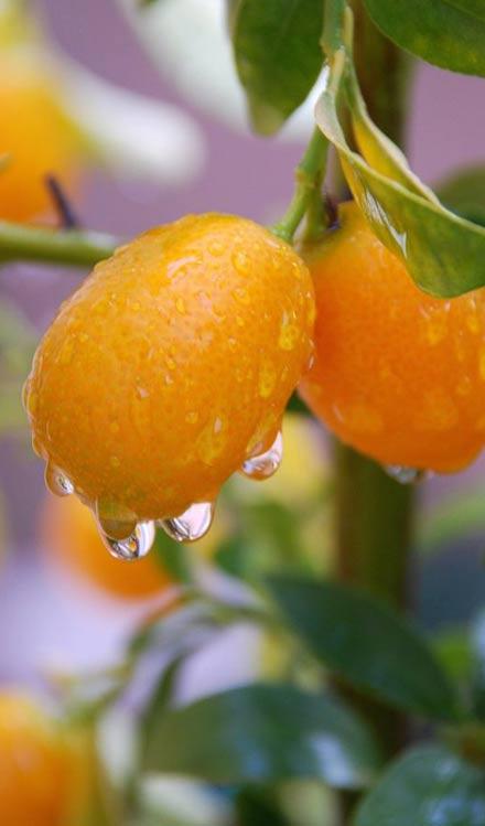 des-agrumes-a-la-maison-un-zeste-de-vitamines-et-de-bonne-humeur_3
