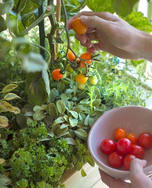 Se lancer dans les mini tomates: du balcon au jardin