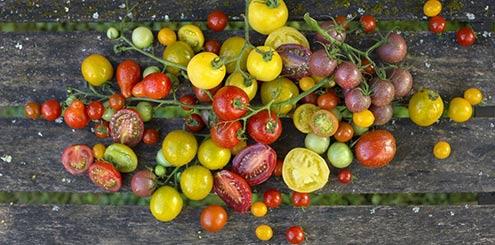 ribambelle-de-tomates-cocktail-colorees-cherche-terrasse-ensoleillee_1