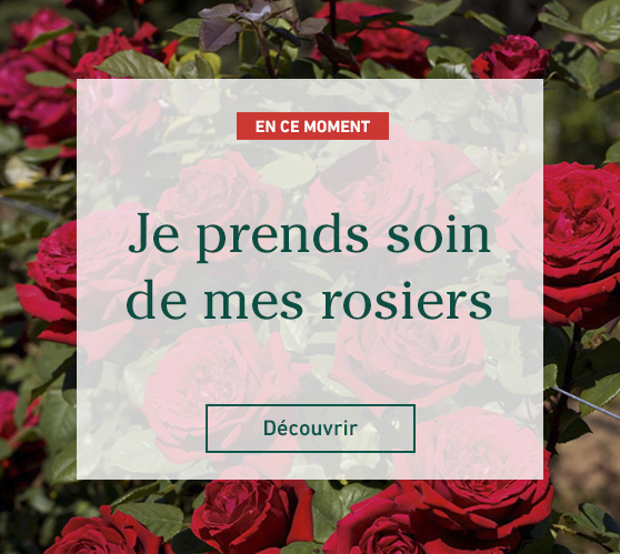 Edito_entretien-et-taille-des-rosiers