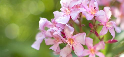 laurier-rose-un-parfum-de-voyage_30