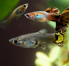 Guppy: le poisson tropical préféré des aquariophiles