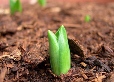 Où planter vos bulbes de printemps ?