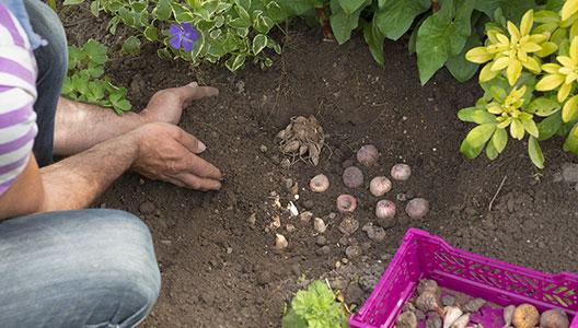 2. Déposer le bulbe à l'intérieur et le recouvrir de terre