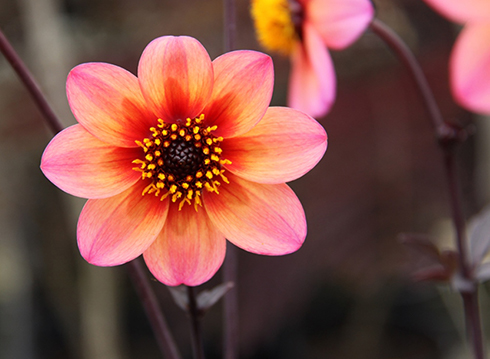 Le dahlia, de l'Amérique centrale aux bordures de nos jardins