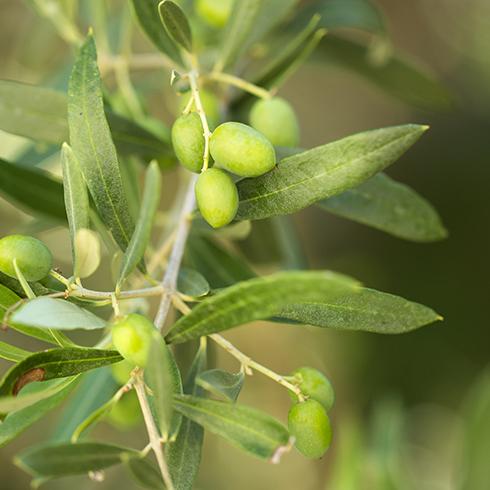 Terreau, arrosage et taille : les secrets d'un olivier bien dans ses racines