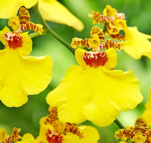 La petite orchidée qui venait d'Amérique…