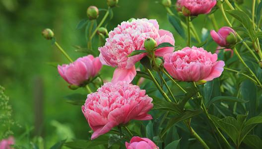 Les pivoines, fleurs du dieu PAN