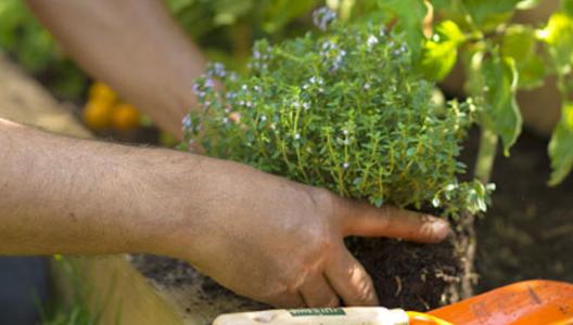 Les plantes aromatiques, l'éveil des sens !