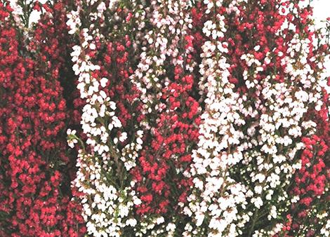 plante couvre sol botanic tout nos conseils sur les. Black Bedroom Furniture Sets. Home Design Ideas