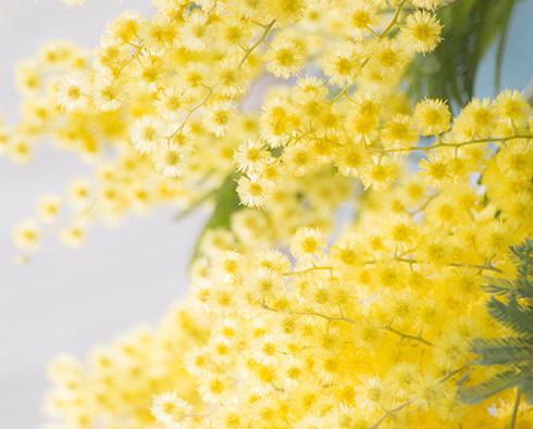 Un petit arbre ornemental australien pour égayer nos jardins