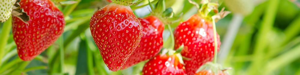 plantation-et-entretien-du-fraisier_40