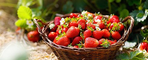 Quelle exposition privilégier pour la plantation de vos fraisiers ?