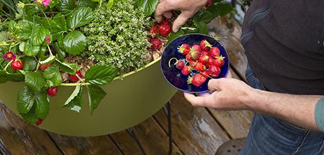 plantation-et-entretien-du-fraisier_60