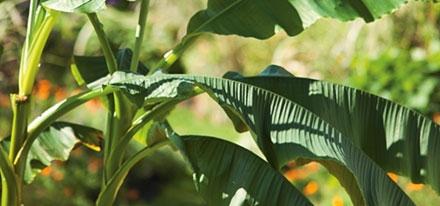 planter-bananier_20