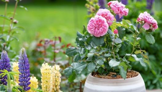 Petit guide de plantation des rosiers