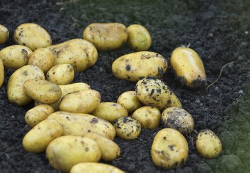 Quelles pommes de terre choisir pour les cultiver soi-même?