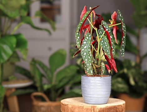Les Bégonias à feuilles décoratives (ou de type Rex)