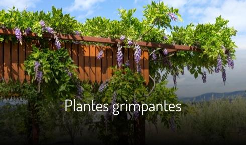 Glycine, plante grimpante