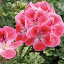 aide-au-choix-geraniums_15