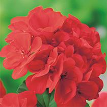 aide-au-choix-geraniums_17