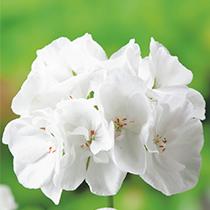 aide-au-choix-geraniums_20