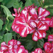 aide-au-choix-geraniums_30