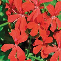 aide-au-choix-geraniums_32