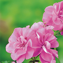 aide-au-choix-geraniums_36